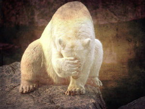 Polar-Bear-Face-Palm-ROH