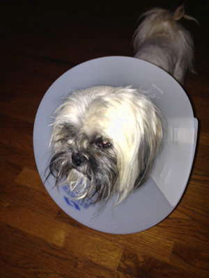 A sad, post-op Sarge.